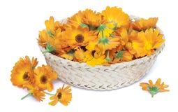 Medicinal calendula in basket Royalty Free Stock Image