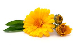 Medicinal calendula flowers isolated on white Stock Images