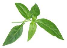 Medicinal Chirata leaves Royalty Free Stock Photo