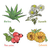 Medicinal cosmetic plant and herbs. Hand drawn collection of medicinal plants and herbs on the white background. Aloe, Chamomile, Calendula and Brier plants Royalty Free Stock Photography