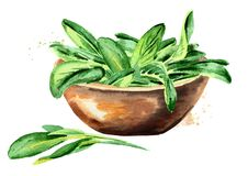 Medicinal and cosmetics herb Salvia officinalis. Bowl with sage green leaves. Hand drawn watercolor illustration isolated on white. Background Royalty Free Stock Photo