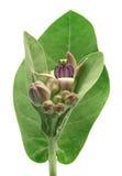 Medicinal Crown flower Stock Images