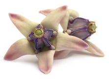 Medicinal Crown flower Stock Image