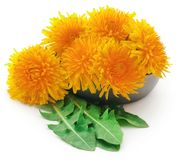 Medicinal dandelion. In a bowl over white background stock image
