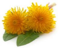 Medicinal dandelion. Over white background Stock Images