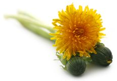 Medicinal dandelion. Over white background Stock Photos