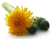 Medicinal dandelion. Over white background Stock Photo