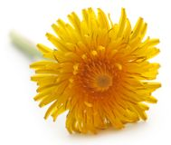 Medicinal dandelion. Over white background Royalty Free Stock Photo
