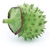 Medicinal Datura fruit Stock Photo