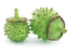 Medicinal Datura fruits. Over white background royalty free stock photography