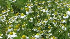 Medicinal healing chamomile growing in garden. Handheld. stock footage
