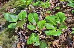 Medicinal herb bergenia (Bergenia pacifica) 6 Royalty Free Stock Photo