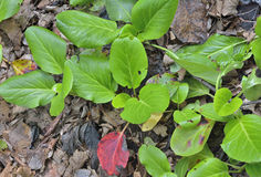 Medicinal herb bergenia (Bergenia pacifica) 12 Royalty Free Stock Photography