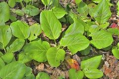 Medicinal herb bergenia (Bergenia pacifica) 10 Stock Image