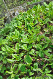 Medicinal herb bergenia (Bergenia pacifica) 17 Stock Images