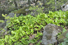 Medicinal herb bergenia (Bergenia pacifica) 18 Royalty Free Stock Images