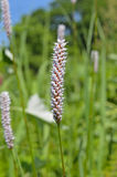 Medicinal herb bistort 4 Royalty Free Stock Images