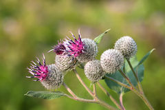 Medicinal herb burdock Arctium lappa, blooming violet flowers. soft background, macro view Royalty Free Stock Images