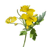 Medicinal herb celandine 9 Royalty Free Stock Images