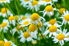 Medicinal herb chamomile. In the garden royalty free stock image