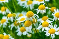 Medicinal herb chamomile Royalty Free Stock Image