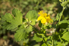 Medicinal herb (Chelidonium majus). Blossom of the medicinal herb (Chelidonium majus) with flower and green sheet Stock Images