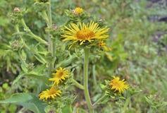 Medicinal herb elecampane 1 Stock Photo