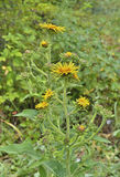 Medicinal herb elecampane 2 Stock Photo