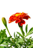 Medicinal herb flower calendula (Calendula officinalis) isolated on a white background Royalty Free Stock Photos