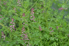 Medicinal herb - Fumitory (Fumaria officinalis). Pink Fumitory plant with blossom Royalty Free Stock Image