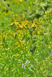 Medicinal herb hypericum  Royalty Free Stock Photography