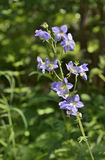Medicinal herb Jacob's-ladder 2. A close up of the blooming medicinal herb Jacob's-ladder (Polemonium chnense Stock Photo