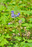 Medicinal herb Jacob's-ladder 4. A close up of the blooming medicinal herb Jacob's-ladder Polemonium chnense Stock Photo