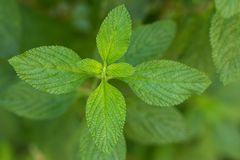 Medicinal Herb Melissa Officinalis or Lippia Alba. Medicinal herb. The Citrus Herb is a plant that is popularly used to make teas and infusions for medicinal use stock image