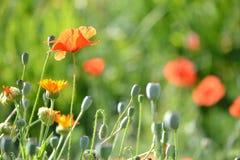 Medicinal herb and poppy Stock Photos