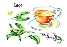 Medicinal herb Salvia officinalis. Cup of medical tea. Infusion made from sage leaves set. Hand drawn watercolor illustration,  is. Olated on white background Stock Photos
