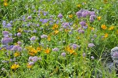 Medicinal herb valerian 3 Royalty Free Stock Image