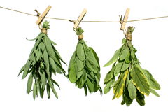 Medicinal herbs. Sage and salvia medicinal herbs hanging from washing line, isolated own white background Stock Photo