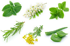 Medicinal herbs Stock Photography