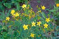 Hypericum Medicinal herbs in the garden stock photo