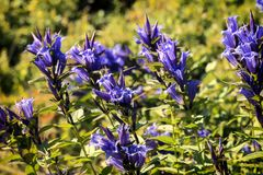 Medicinal herbs: Blue flowers of willow gentian. Gentiana asclepiadea Royalty Free Stock Photo