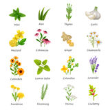 Medicinal  Herbs Plants Flat Icons Set. Healing herbs and medicinal plants flat icons collection with ginger chamomile and garlic abstract  vector illustration Royalty Free Stock Photos