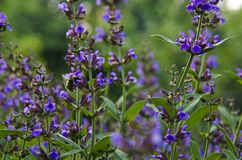 Medicinal herbs: Sage shrub with green leaves and purple flowers grows in the garden next to the cherry tree royalty free stock images