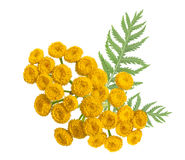 Medicinal herbs. Tansy isolated. Medicinal herbs. Tansy isolated on the white background Stock Photos
