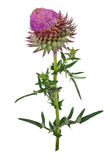 Medicinal hlant: Thistles Stock Photo