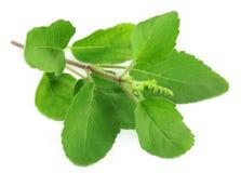 Medicinal holy basil Royalty Free Stock Images