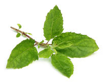Medicinal holy basil or tulsi leaves Royalty Free Stock Images