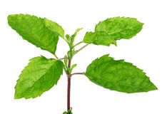 Medicinal holy basil or tulsi leaves Royalty Free Stock Photo