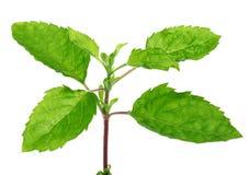 Medicinal holy basil or tulsi leaves Royalty Free Stock Photo