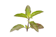 Medicinal holy basil or tulsi leaves Royalty Free Stock Photos